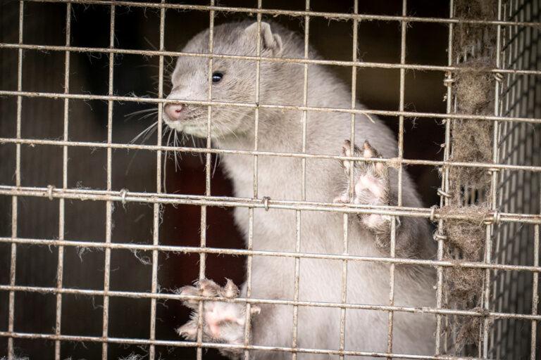 Denmark to kill 17 million minks to reduce spread of COVID