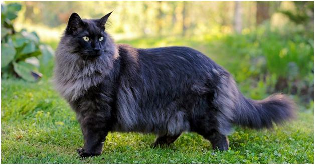 Understanding the Norwegian Forest Cat Breed